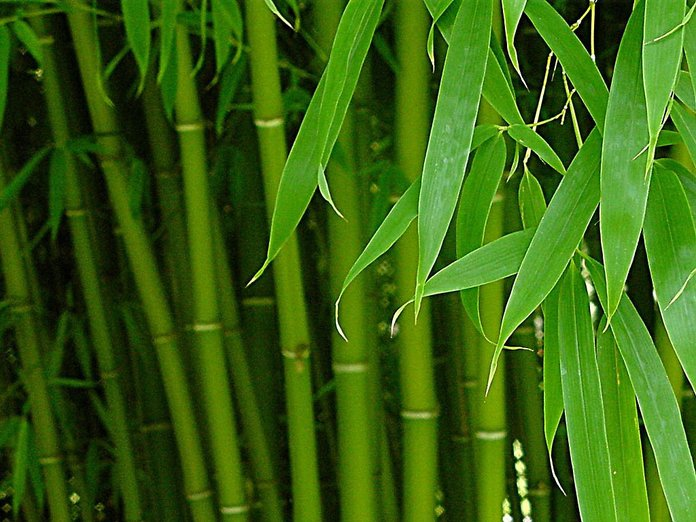 Как вырастить бамбук на даче