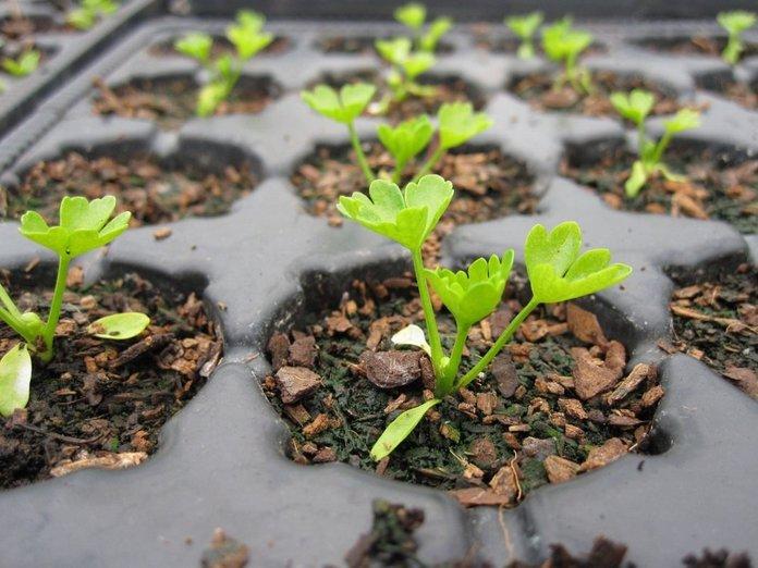 Выращивание сельдерея в домашних условиях
