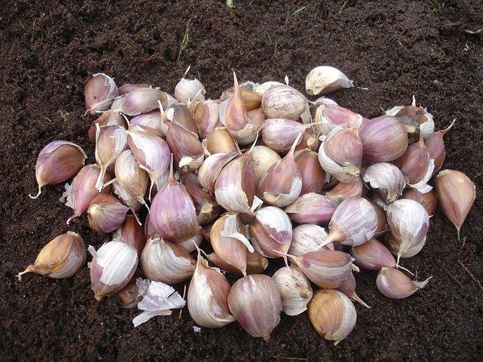 Посадка чеснока в открытом грунте