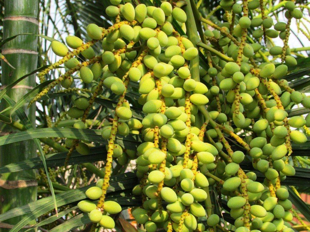Как вырастить финиковую пальму?