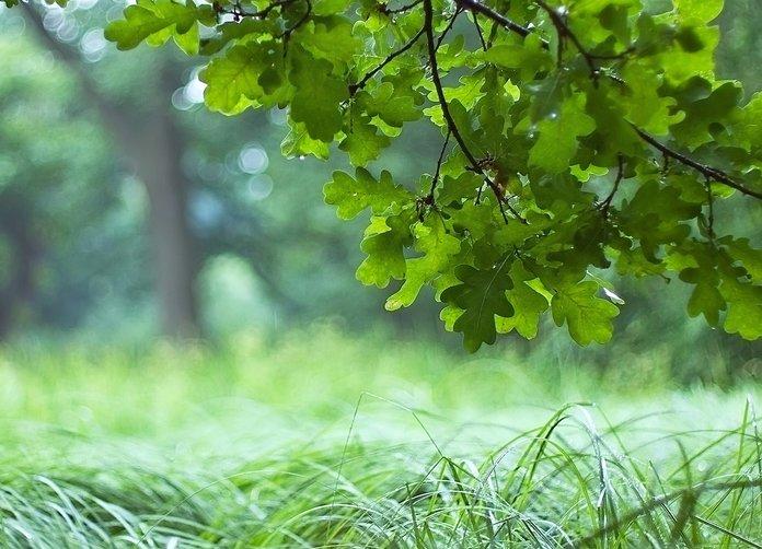 Способы выращивания дуба