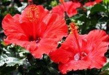 Как вырастить китайскую розу из семян в домашних условиях?