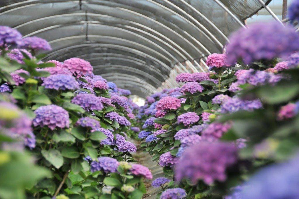 Как вырастить гортензию из семян?
