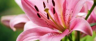 Все способы выращивания лилий