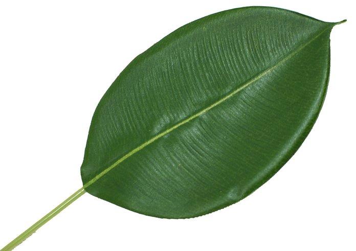 Выращивание фикуса из листа
