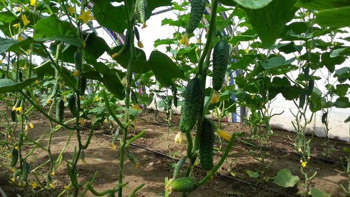 Урожай огурцов в теплице