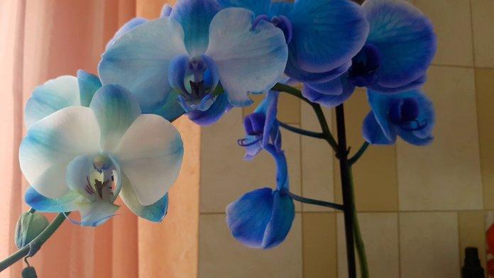Можно ли вырастить голубую орхидею