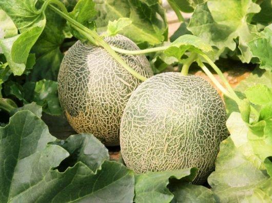 Как вырастить дыню на даче в открытом грунте?