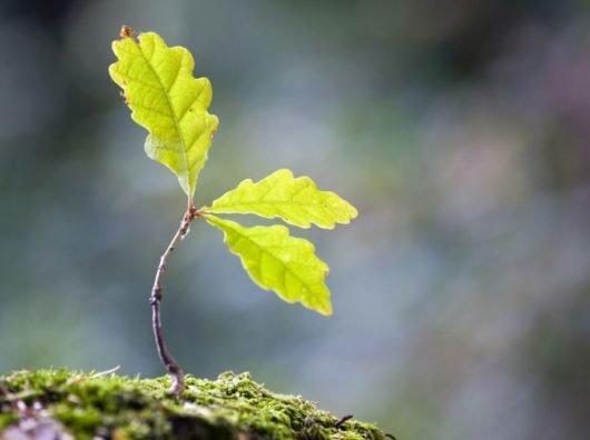 Как из желудя вырастить дуб в домашних условиях?