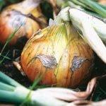 Как вырастить зеленый лук дома?