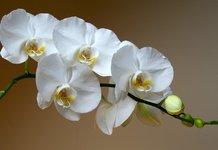 Как вырастить орхидею из черенка?