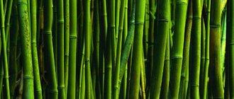 Как вырастить бамбук?