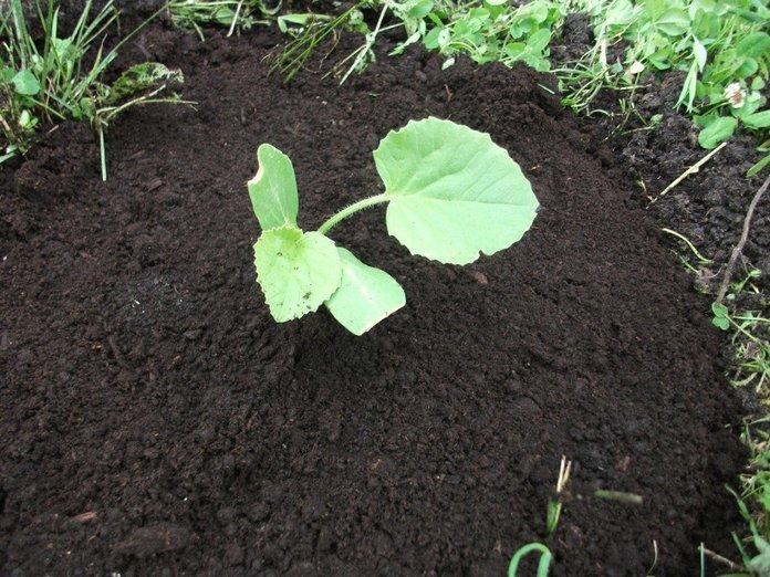 Подготовка грунта для тыквы