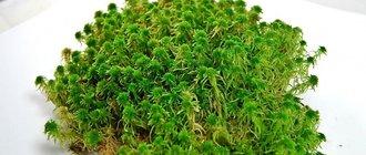 Как вырастить мох в домашних условиях?