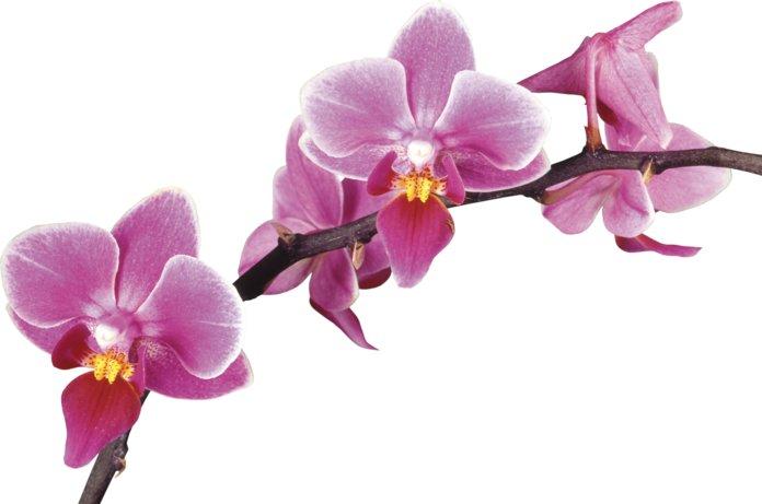 Черенок орхидеи