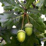 Как вырастить дуб самостоятельно