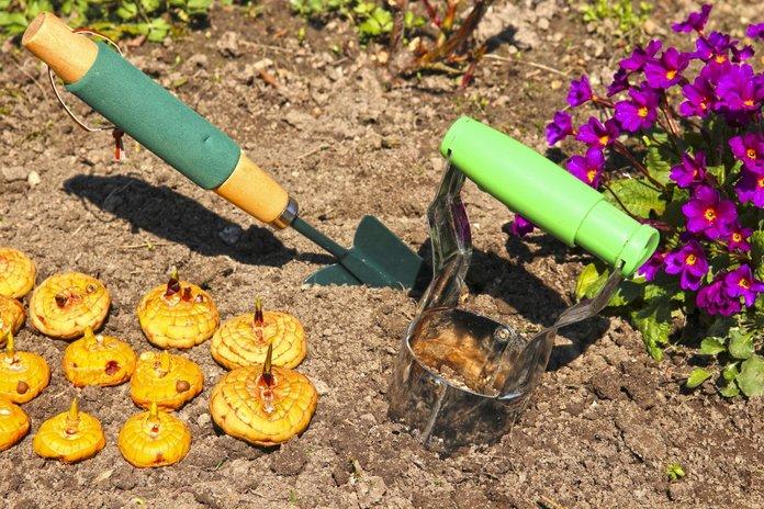 Высадка луковиц гладиолуса