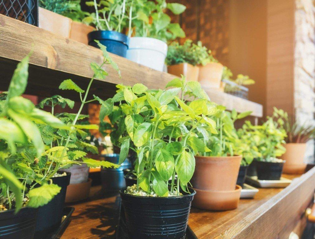Как вырастить базилик в домашних условиях?