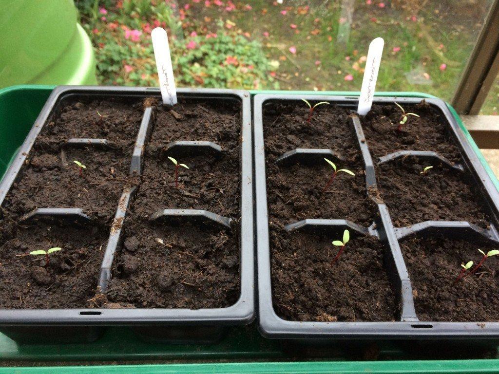 Как вырастить свеклу в открытом грунте?
