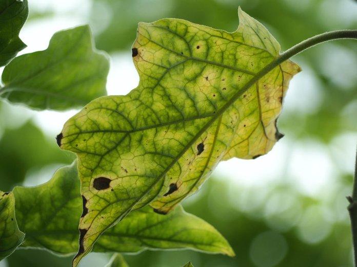 Борьба с вредителями на рассаде баклажан