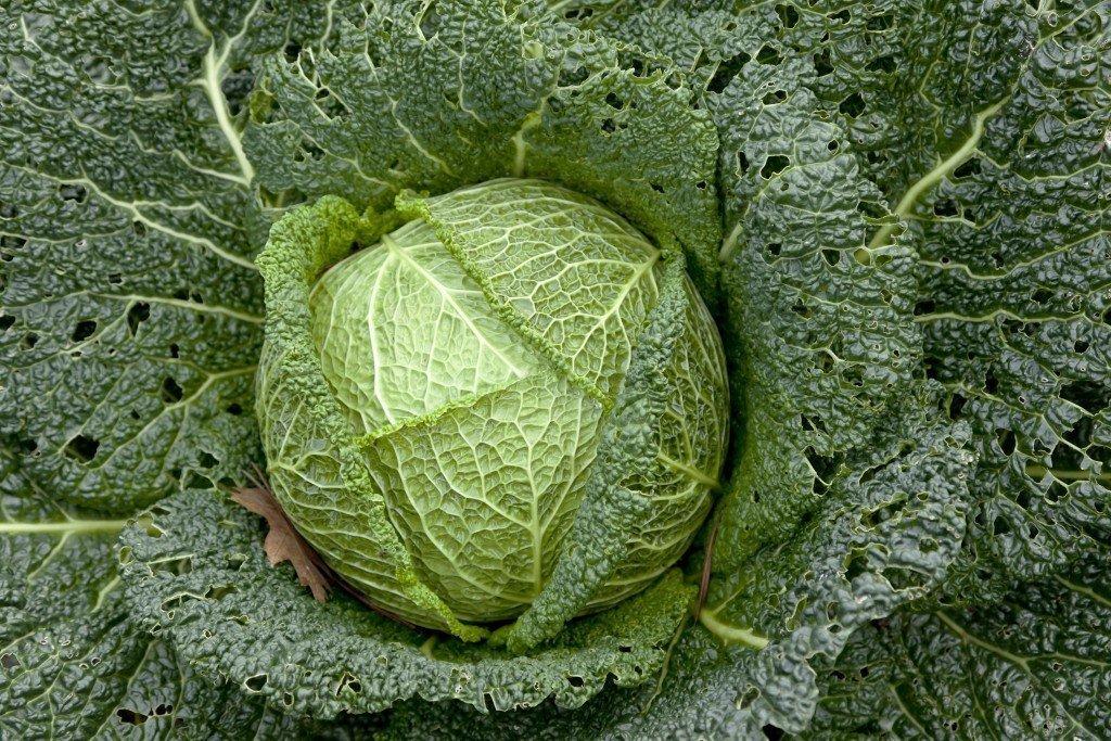 Как вырастить капусту из семян в домашних условиях на рассаду?