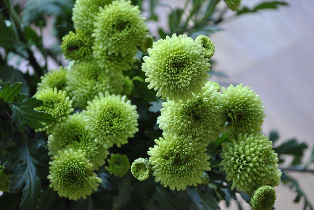 роль цветы зеленого цвета в саду фото полтавщина