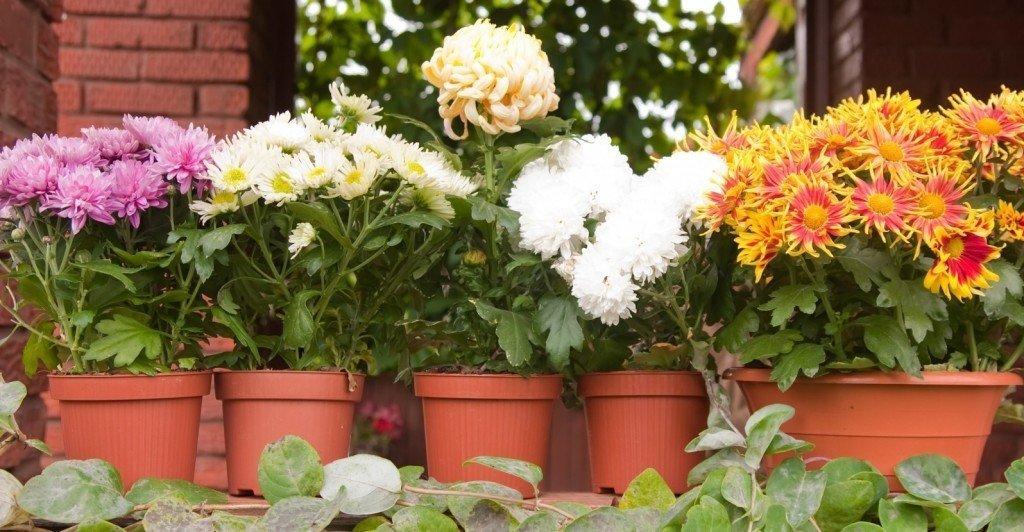 Как вырастить из букета хризантему?
