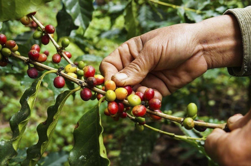 Как вырастить в домашних условиях кофе