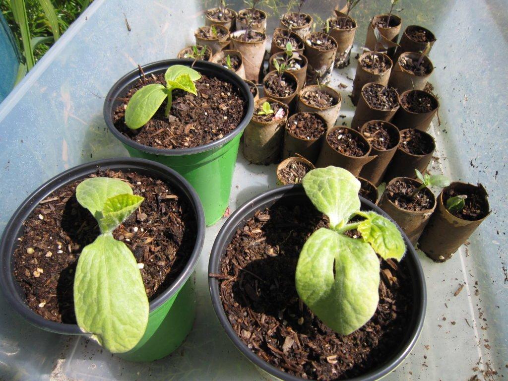 Как вырастить огурцы в парнике?