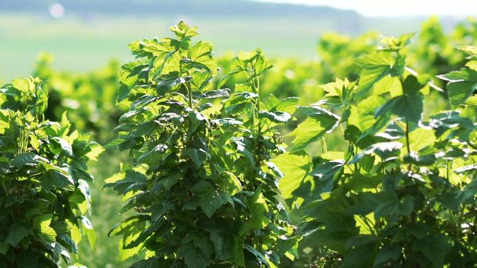 Как из черенков вырастить смородину?