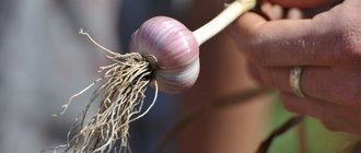 Как вырастить чеснок из бульбочек?