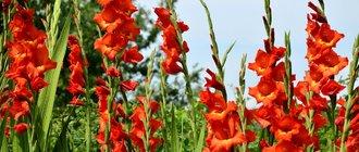 Как вырастить гладиолусы?