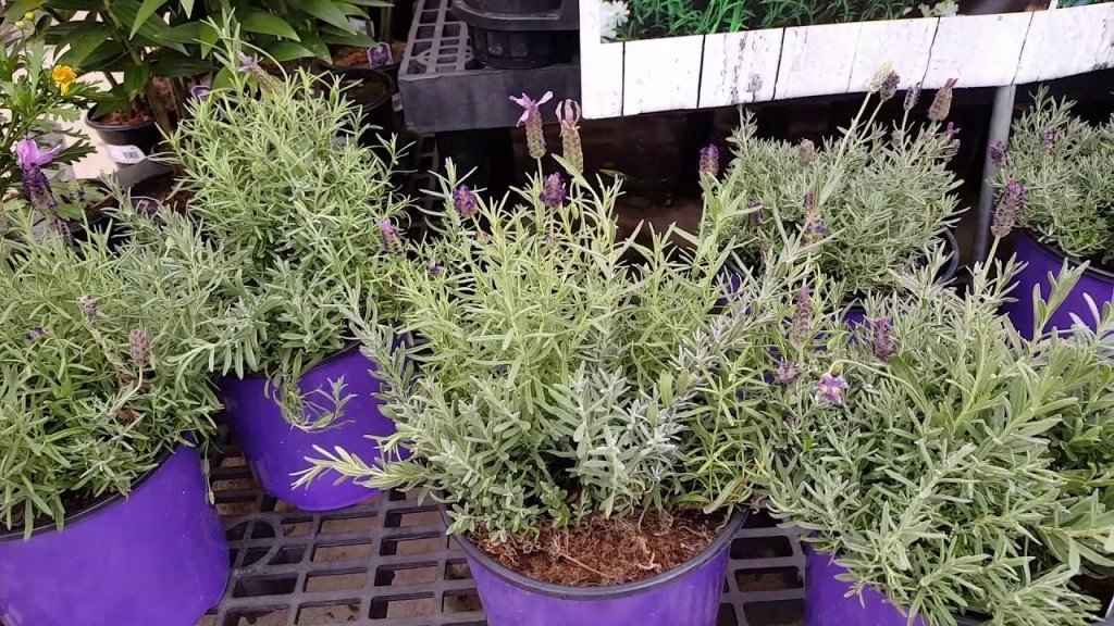 Как вырастить лаванду из семян в домашних условиях?