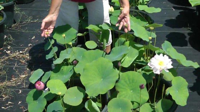 Как вырастить лотос из семян?