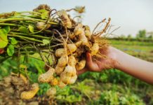 Как вырастить арахис?