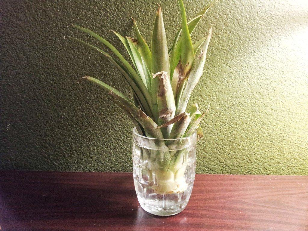 Как вырастить ананас дома из верхушки?
