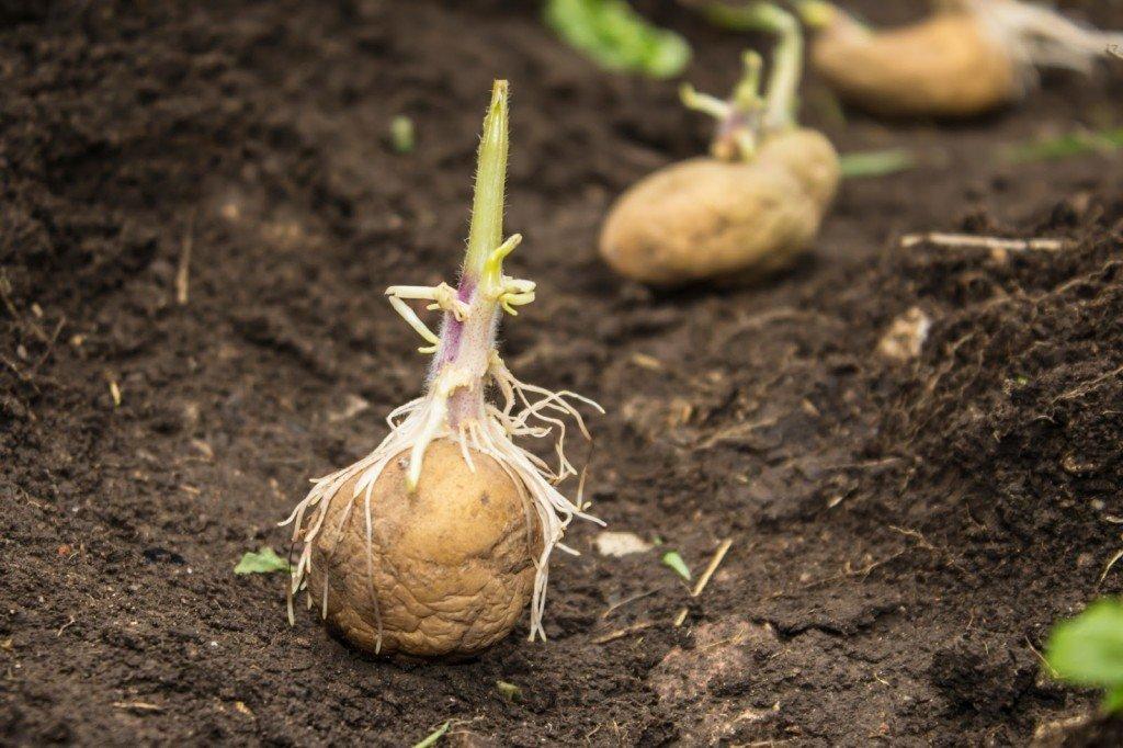 Как вырастить из семян картофель?