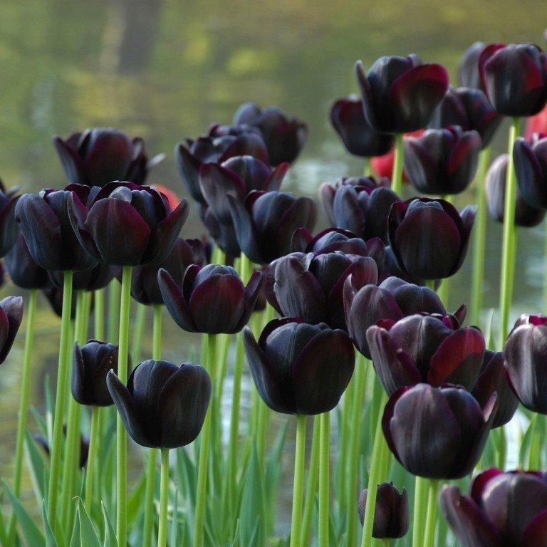 Как вырастить тюльпаны в домашних условиях?