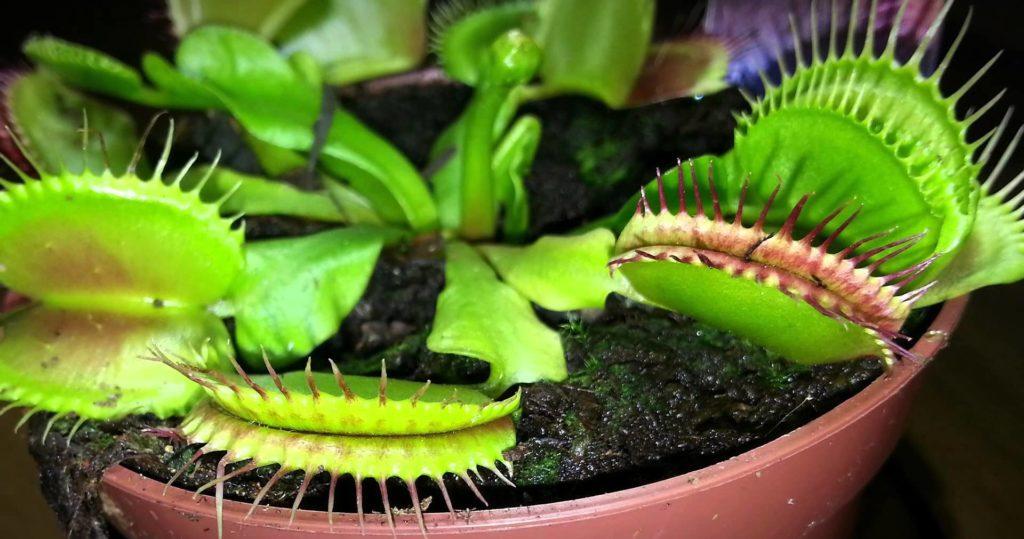 Как вырастить венерину мухоловку