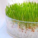 Как вырастить пшеницу?