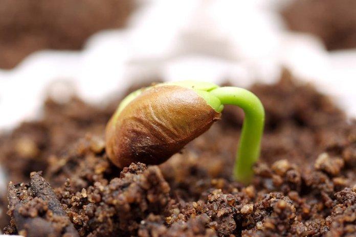 Правильный полив ростков фасоли