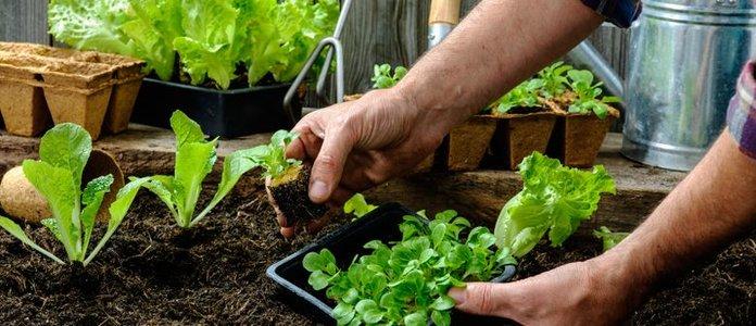 Инструкция выращивания салата