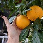 Как из косточки вырастить апельсин?