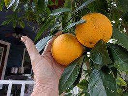 Как вырастить дома апельсин