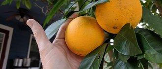 Как вырастить апельсин из косточки?