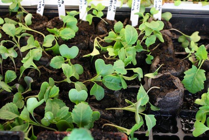 Как вырастить цветную капусту?