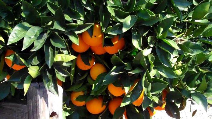 растущие апельсины
