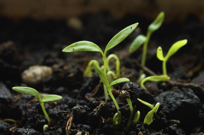 Как вырастить петрушку?