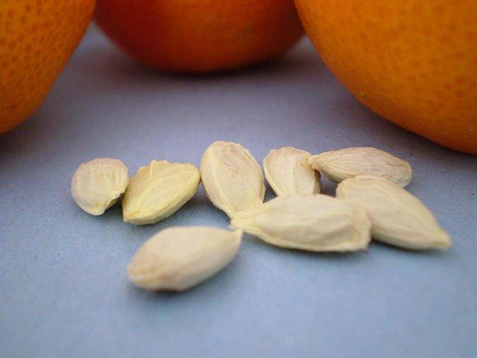 посадка косточек апельсина