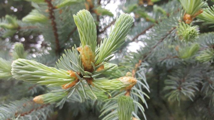 елки с семенами